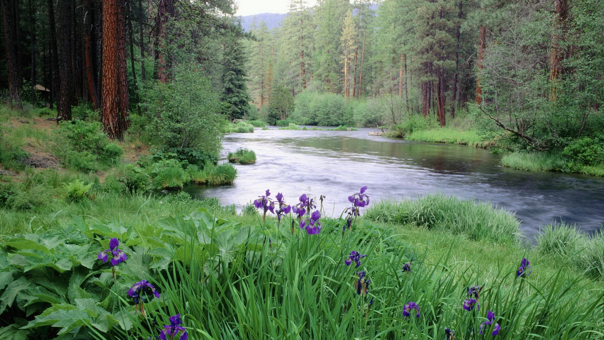 Iris blooms along Metolius River in spring. Deschutes National Forest. Oregon. USA